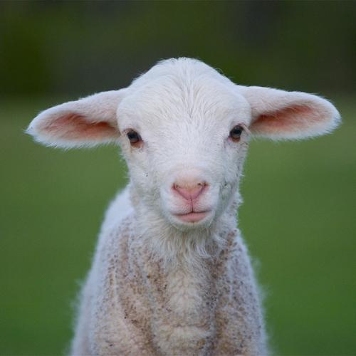lamb-02