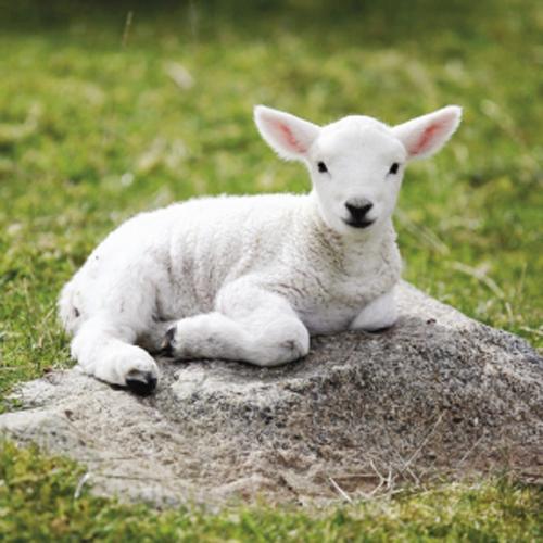 Lamb-03
