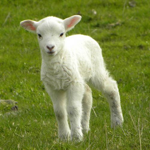 lamb-05